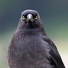 A Pied Currawong staredown ! by Anthony Goldman