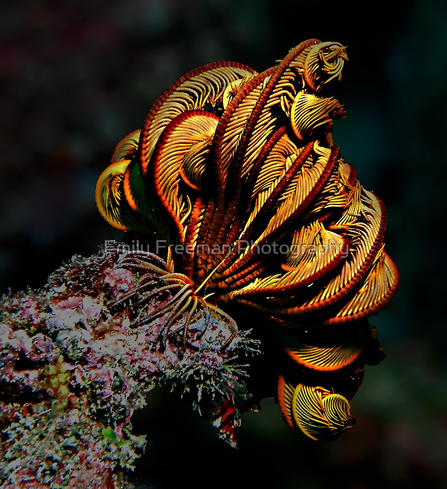 Feather Star by Emily Freeman Photography