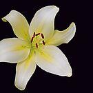 Luminous Lily by kutekatgurl
