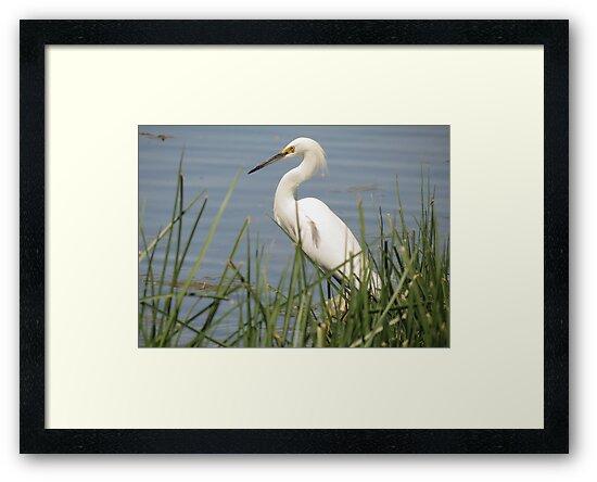 Snowy Egret by Kimberly Chadwick