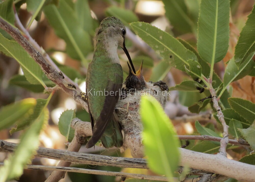 Anna's Hummingbird~ Mothers Touch by Kimberly Chadwick