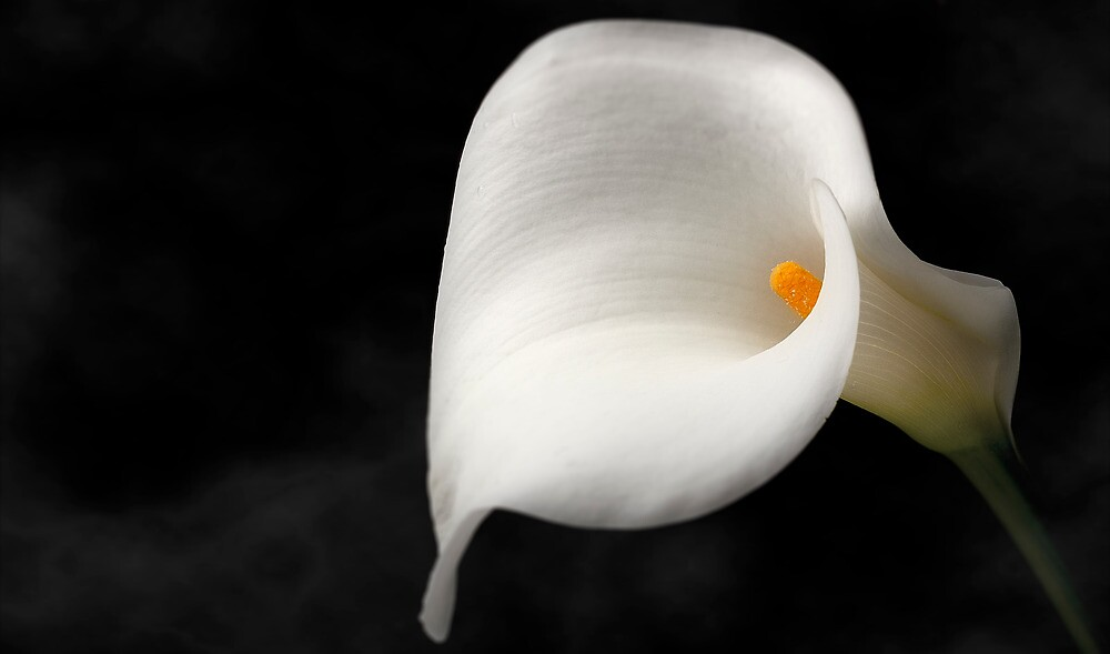 White Lilly  by Nathan Waddell