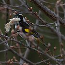 Spring is approaching  New Holland Honey Eater with nesting Material by Kym Bradley