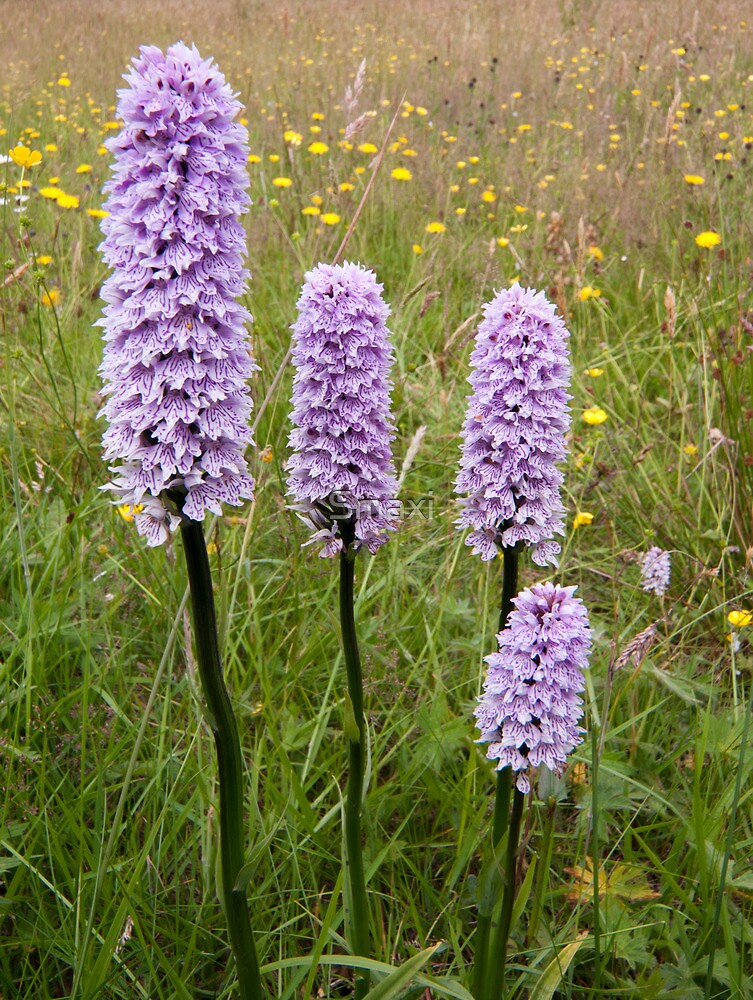 Common Spotted Orchid by Smaxi