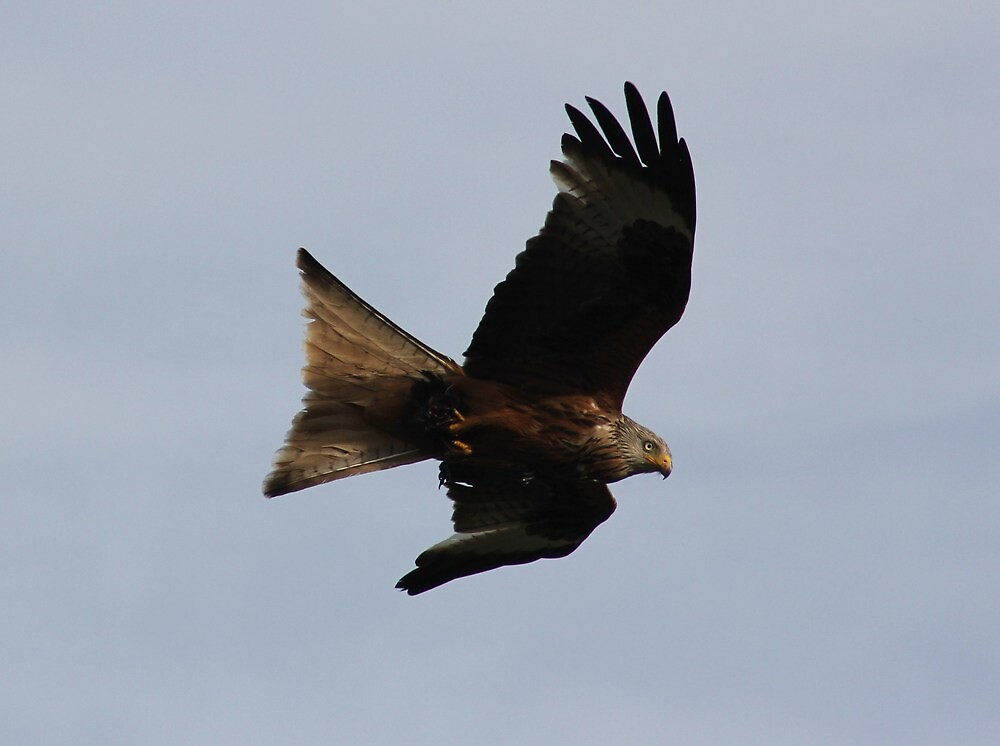 Kite in flight by Malcolm  Maggs