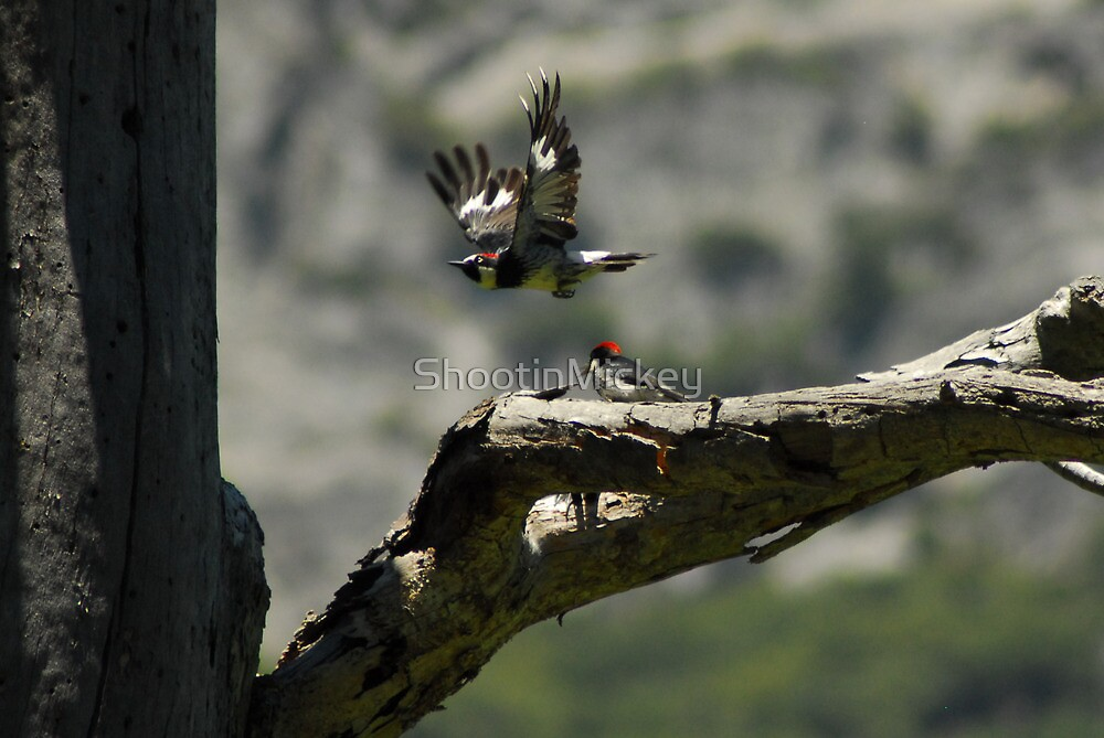 Woodpeckers in Yosemite  by ShootinMickey