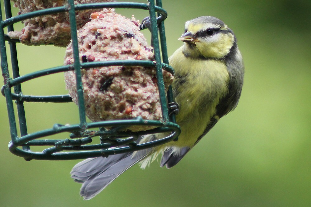 Young Blue Tit Feeding  by AndyLanhamArt