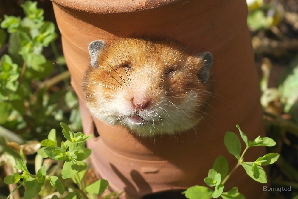 Hamster head by Bunnytod