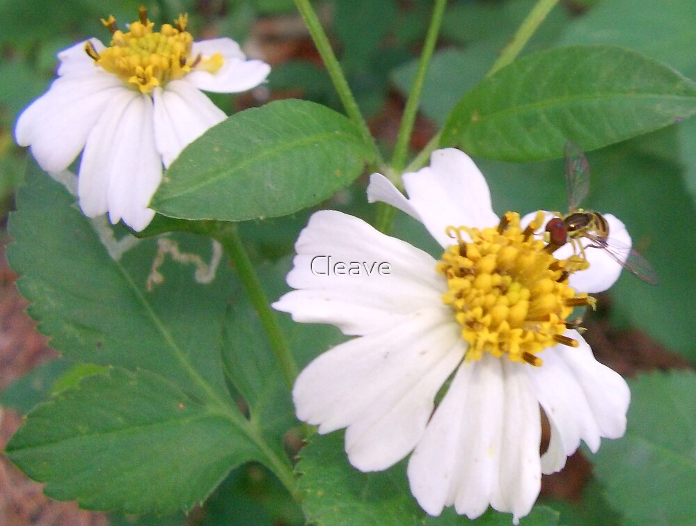 Pollination by Cleave
