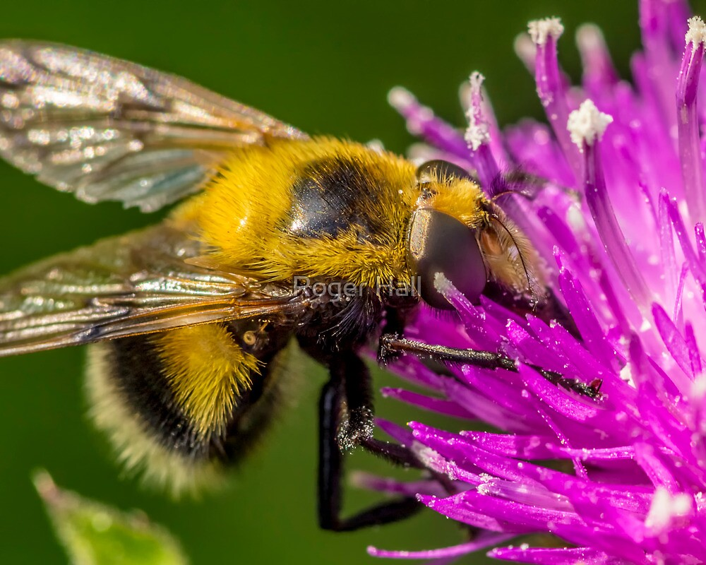 False Bee by Roger Hall