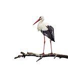 Stork by Lifeware