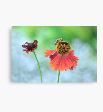 Echinacea paradoxa Canvas Print