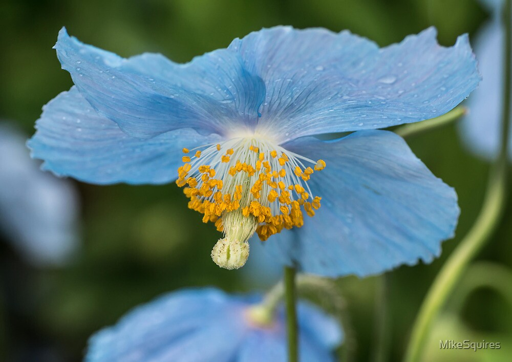 Himalayan Poppy by MikeSquires
