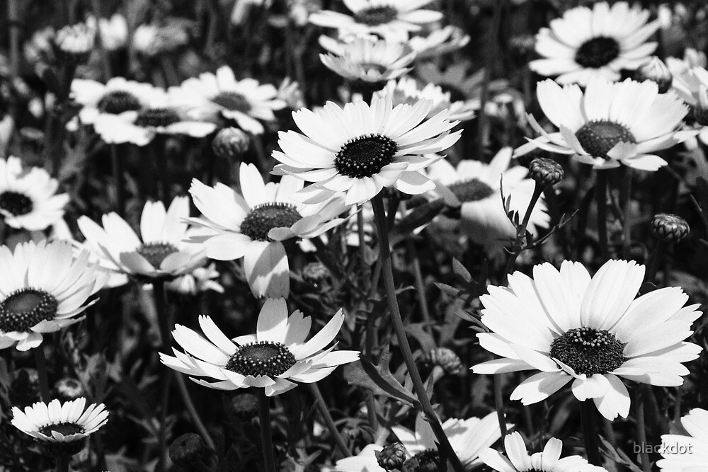 Black & White Daisies by blackdot