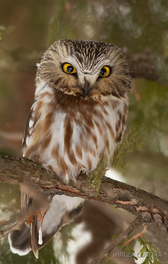 Northern Saw-whet Owl in winter by MIRCEA COSTINA