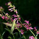 Hummingbird with Penstemon Blossoms  by K D Graves Photography