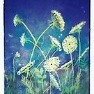 Queen Anne's lace 16 by Suzanne Clements