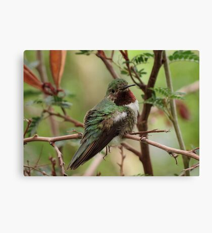 Broad-tailed Hummingbird (Male) Canvas Print