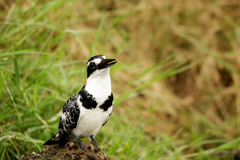 Pied Kingfisher by cs-cookie