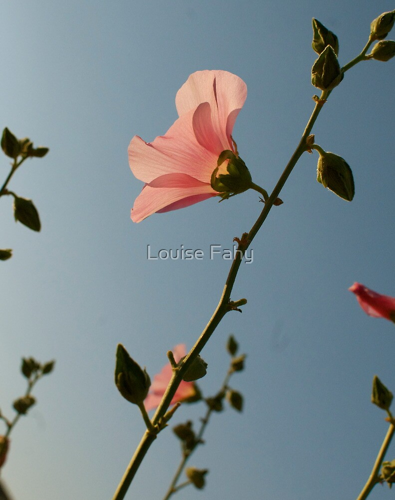 Pink flowers at sunset by Louise Fahy