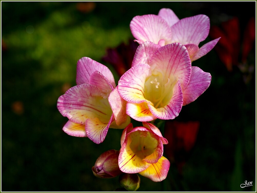 Freesia by Janone
