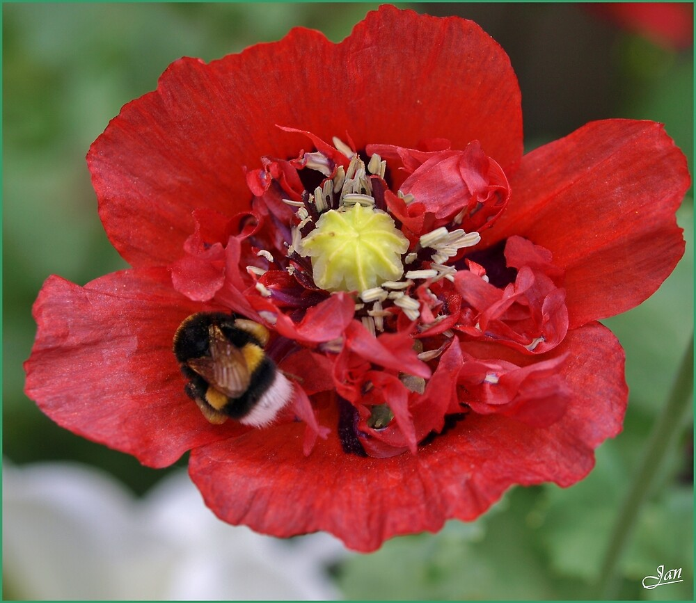 End of the poppy seison. by Janone
