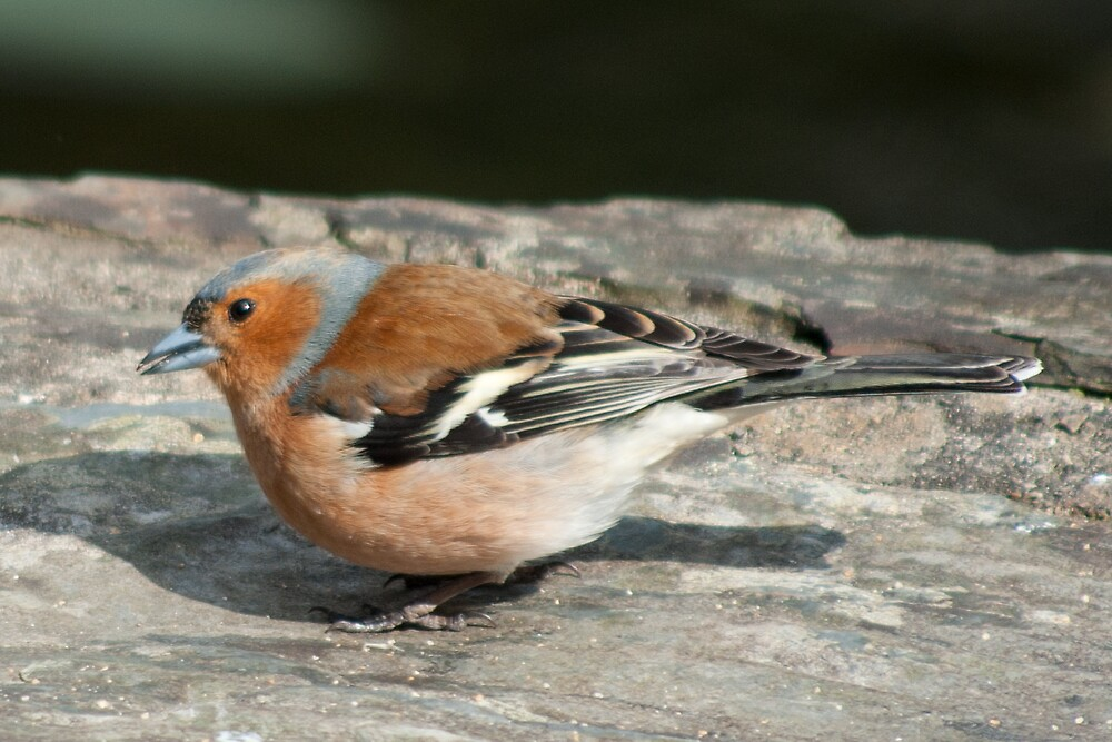 Chaffinch by Kevin Cartwright