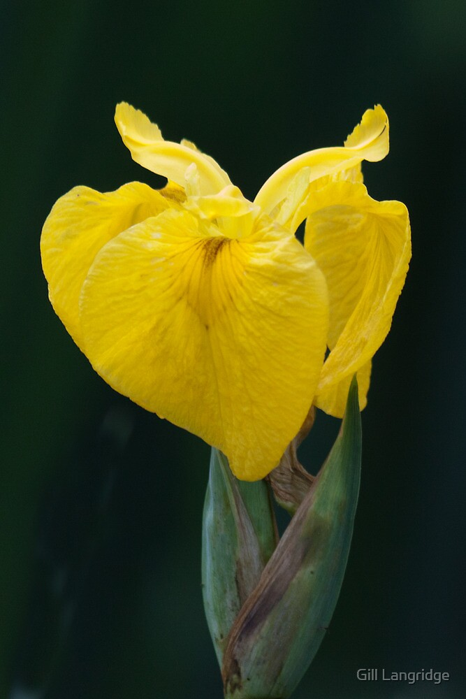 Yellow Iris by Gill Langridge