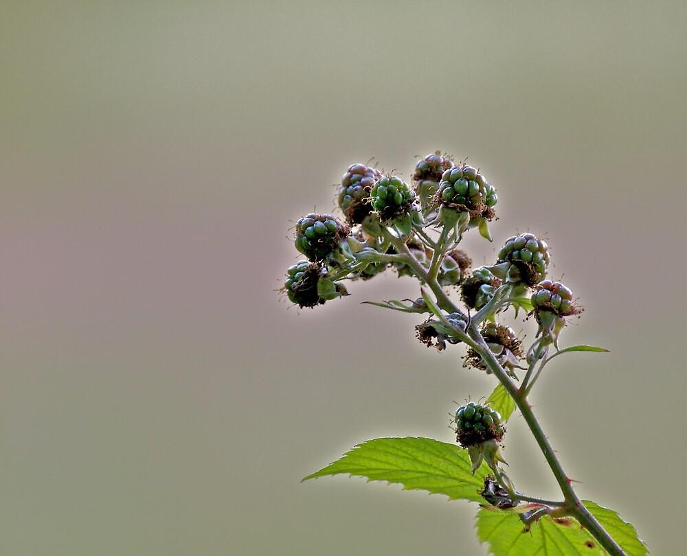 Blackberry by Paul Howard