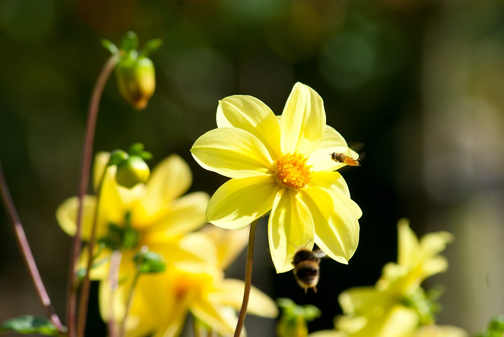 Dahlia with Bees by Kevin Cartwright