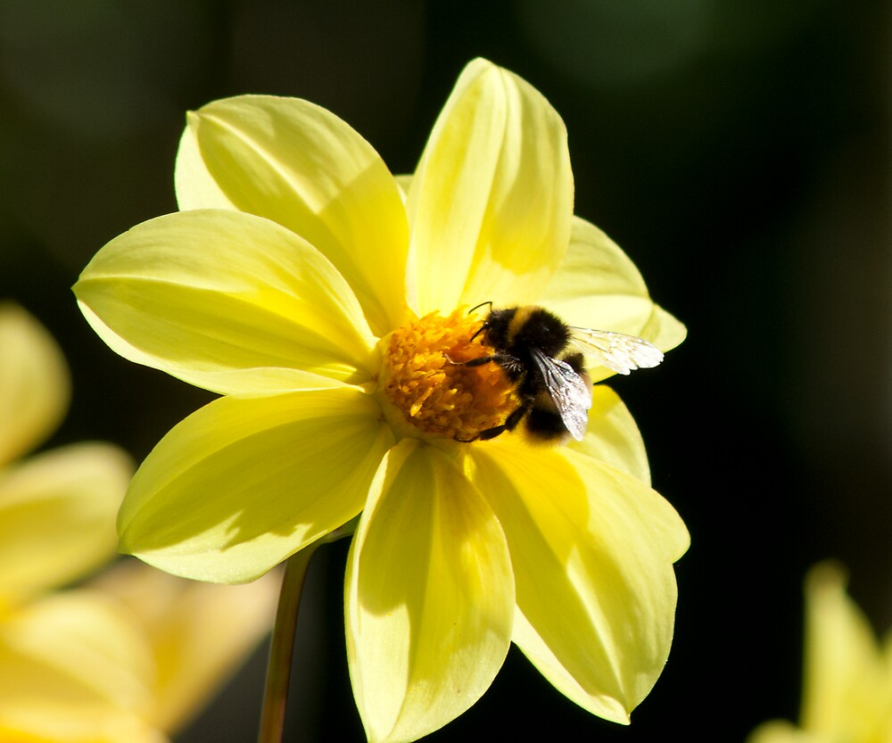 Bee visiting a Dahlia flower by Kevin Cartwright