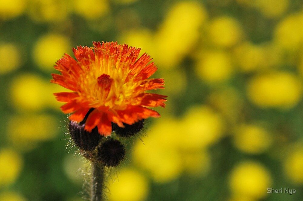 Orange Hawkweed (Hieracium) by Sheri Nye