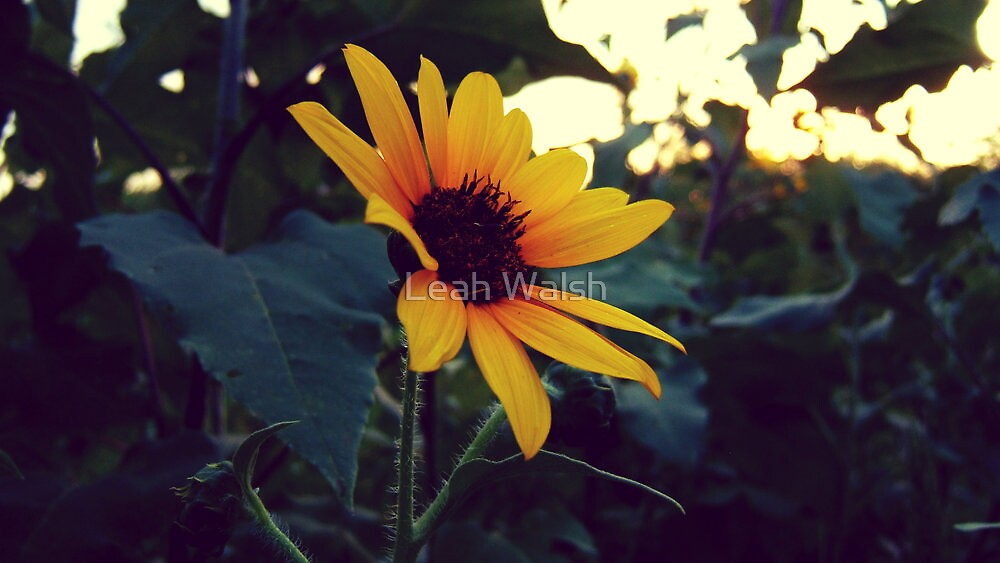 Sunflower by Leah Walsh