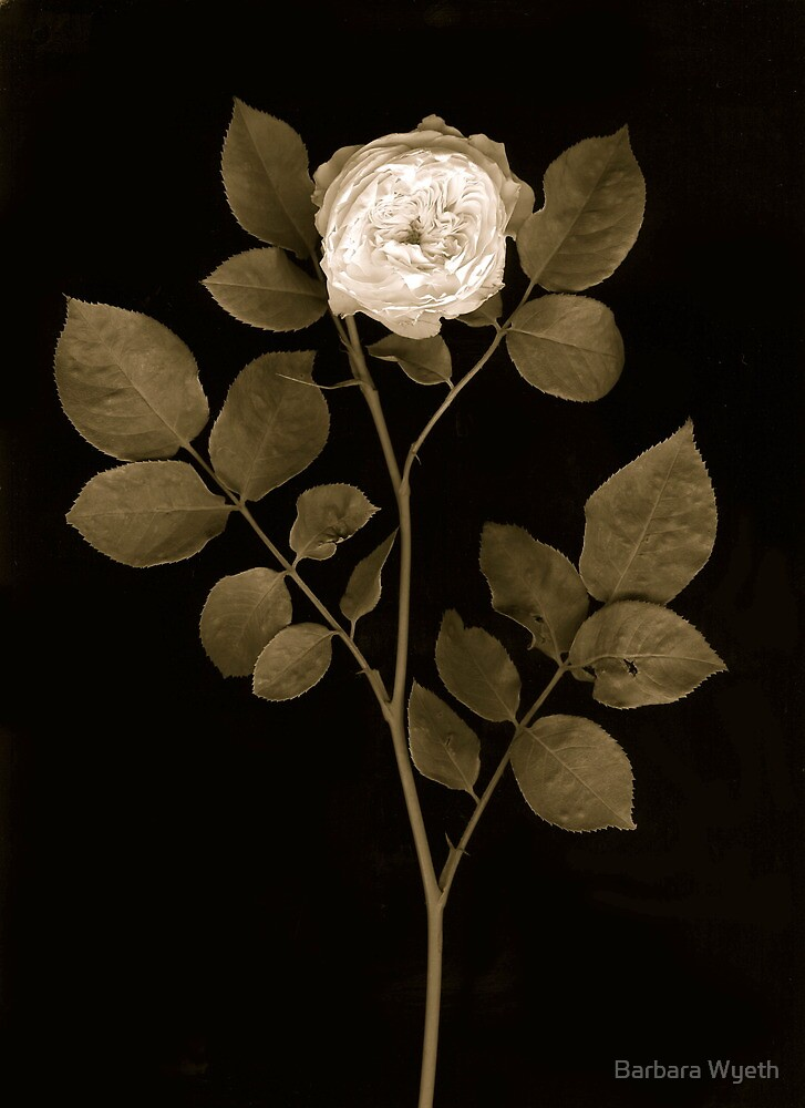 White Rose in Sepia by Barbara Wyeth