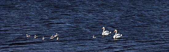 Swan Family by Maureen Anderson