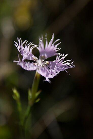 Pyrenean Wildflower by Maureen Anderson