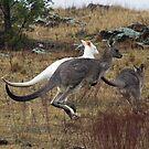 Wild  Albino Kangaroo Canberra Australia   RARE to see by Kym Bradley