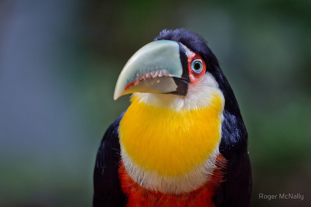 Red Breasted Toucan by Roger McNally