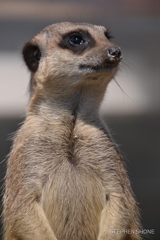 Meerkat by STEPHEN SHONE