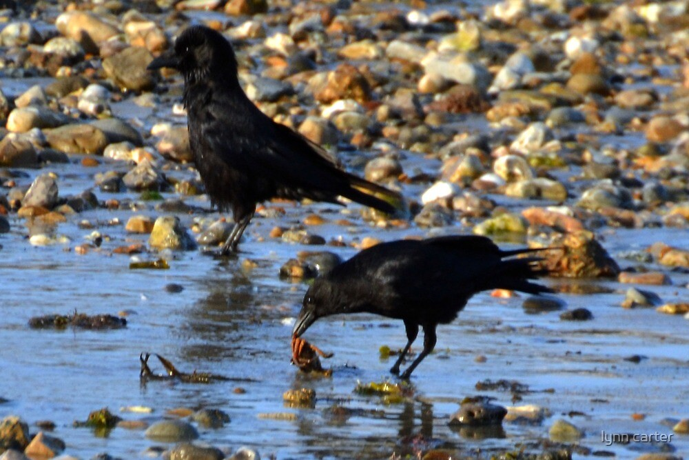 Crab Breakfast For A Crow at Lyme by lynn carter