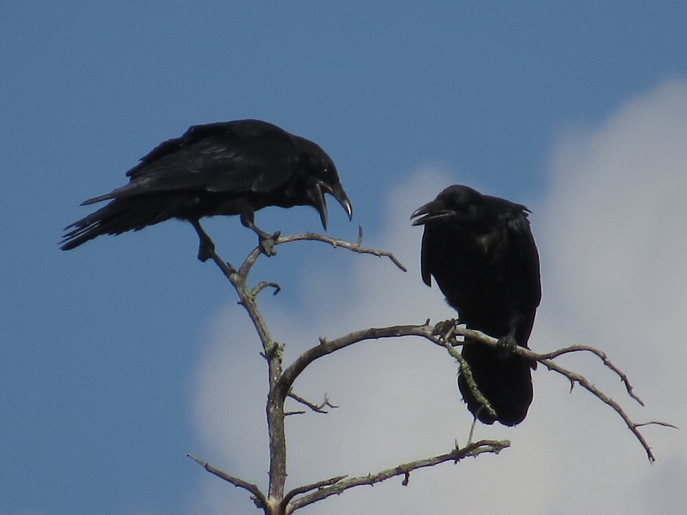 I love you crow baby by Alex Call