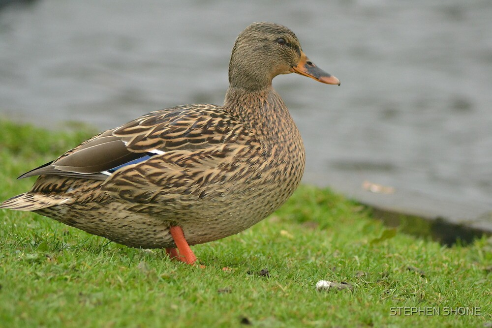 Duck by STEPHEN SHONE