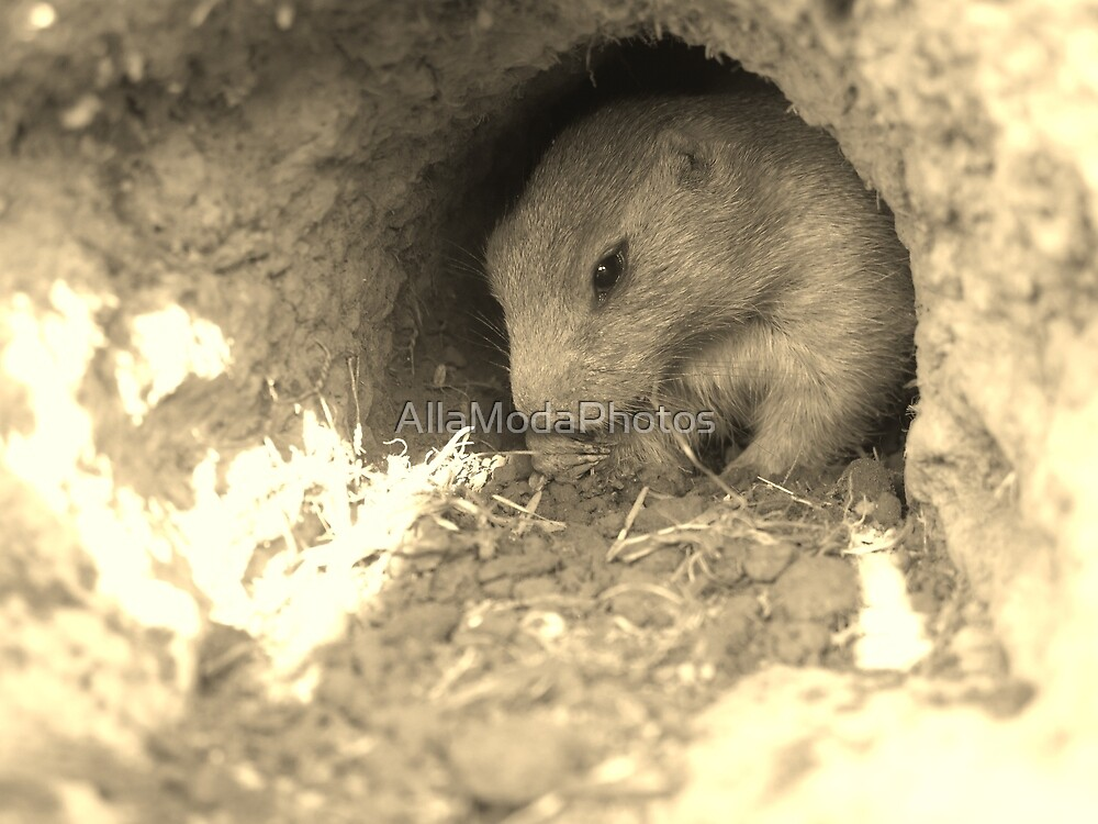 Prairie Dog  by AllaModaPhotos