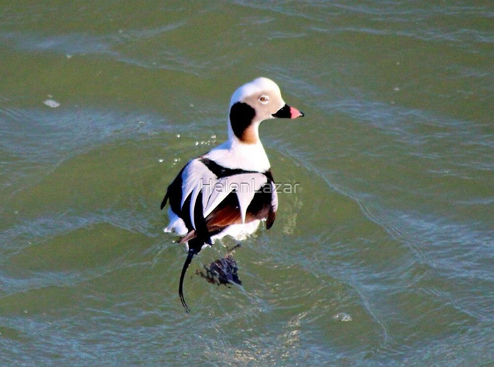 Long Tail Duck by HelenLazar
