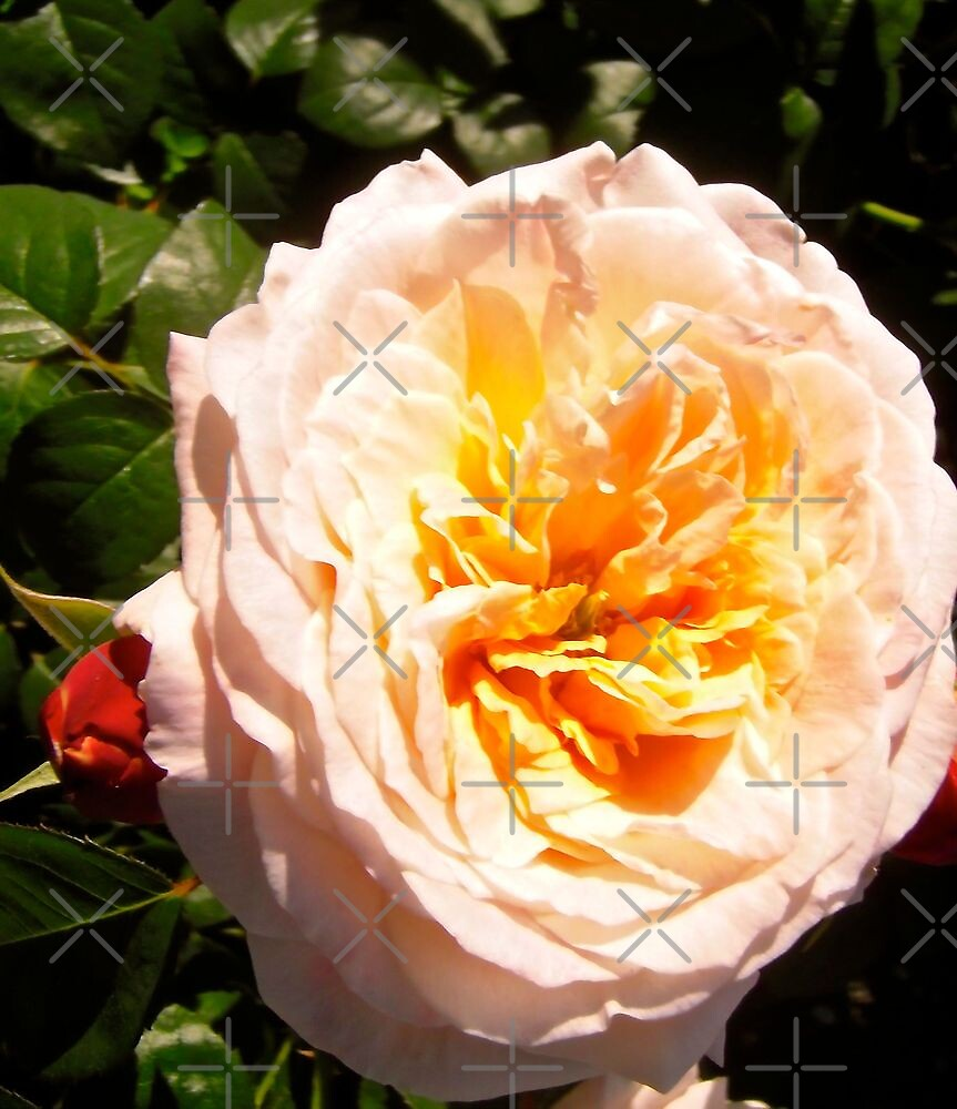 Governor General's Roses  #15 by Shulie1