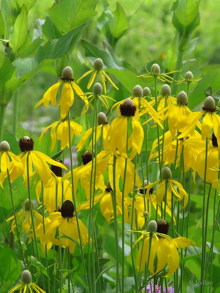 A Coneflower Chorus Line by lorilee
