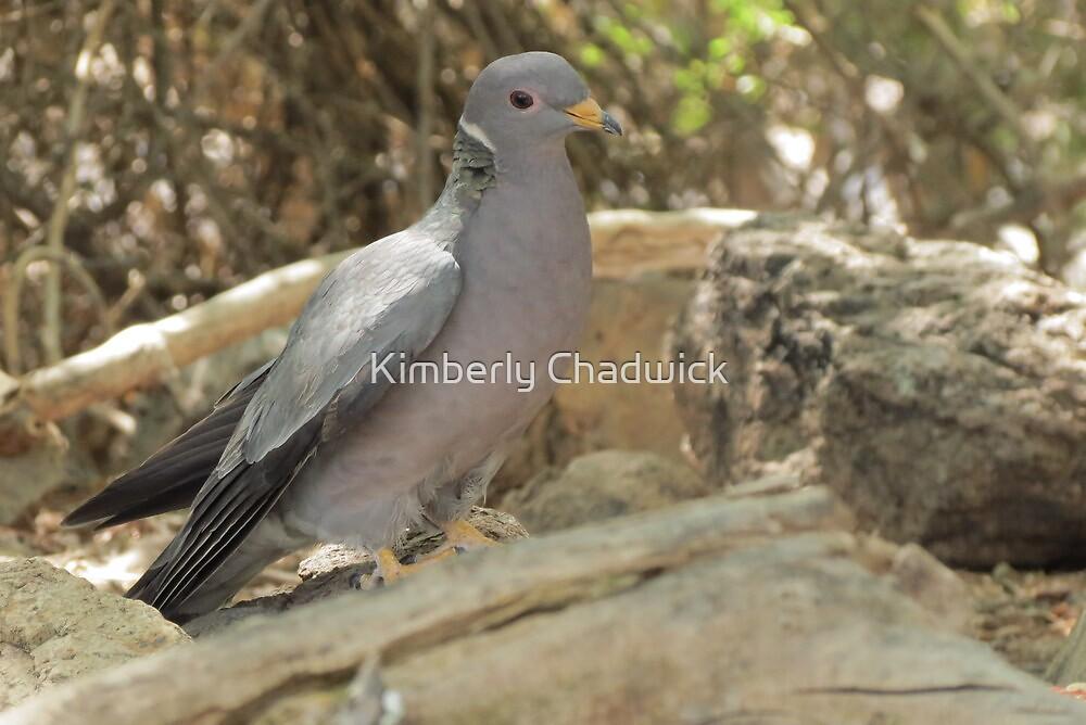 Band-tailed Pigeon by Kimberly Chadwick