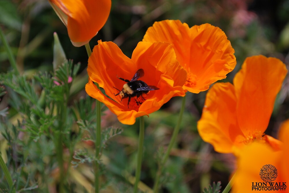 Beautiful Bee, Orange Flower by Jalil al-Hamza