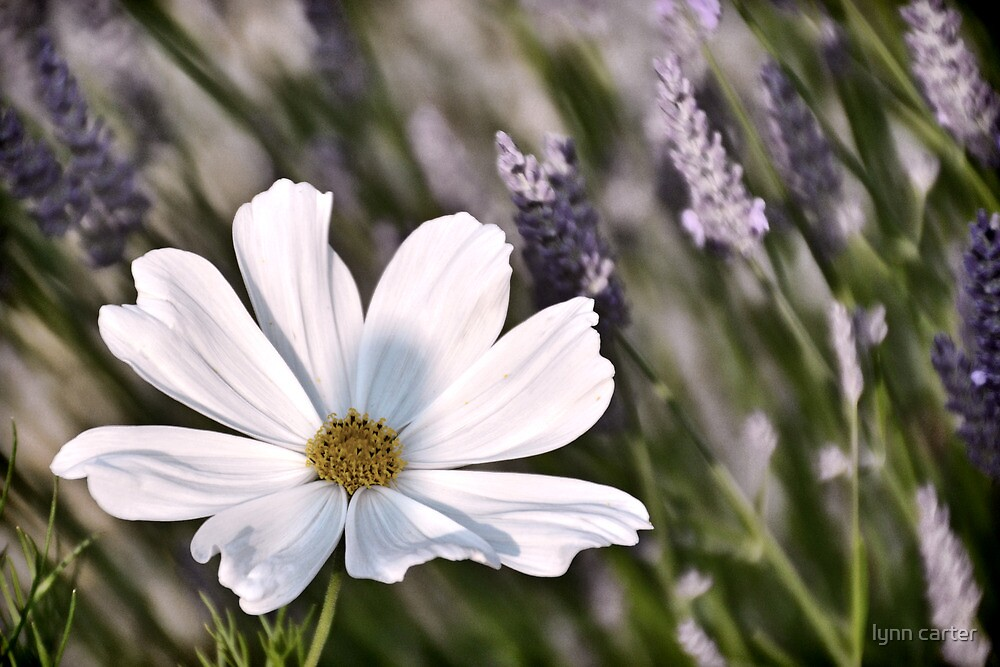 Cosmos Among The Lavender by lynn carter