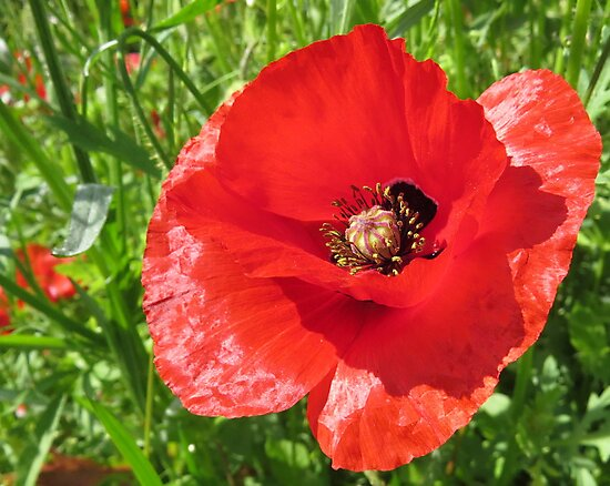 A beautiful poppy by Lorna Taylor